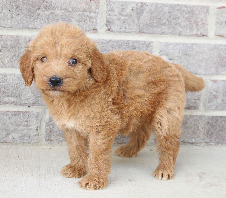 Makayla female Goldendoodle puppy near Fort Wayne, IN
