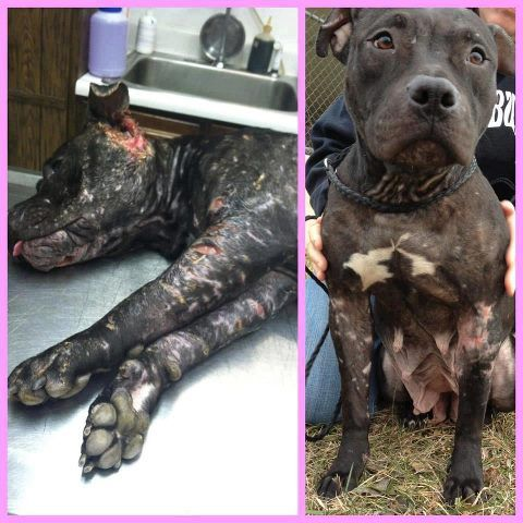 Urgent Mama Needs A Foster Home Mama Is Located In Fairfield County Ct Bridgeport Area Mama Has Had A Very Rough L With Images Dog Adoption Dog Friends Animal Abuse