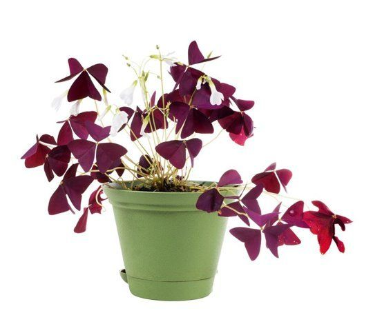 add some color 5 cheery easy to grow indoor flowering plants - Flowering House Plants Purple