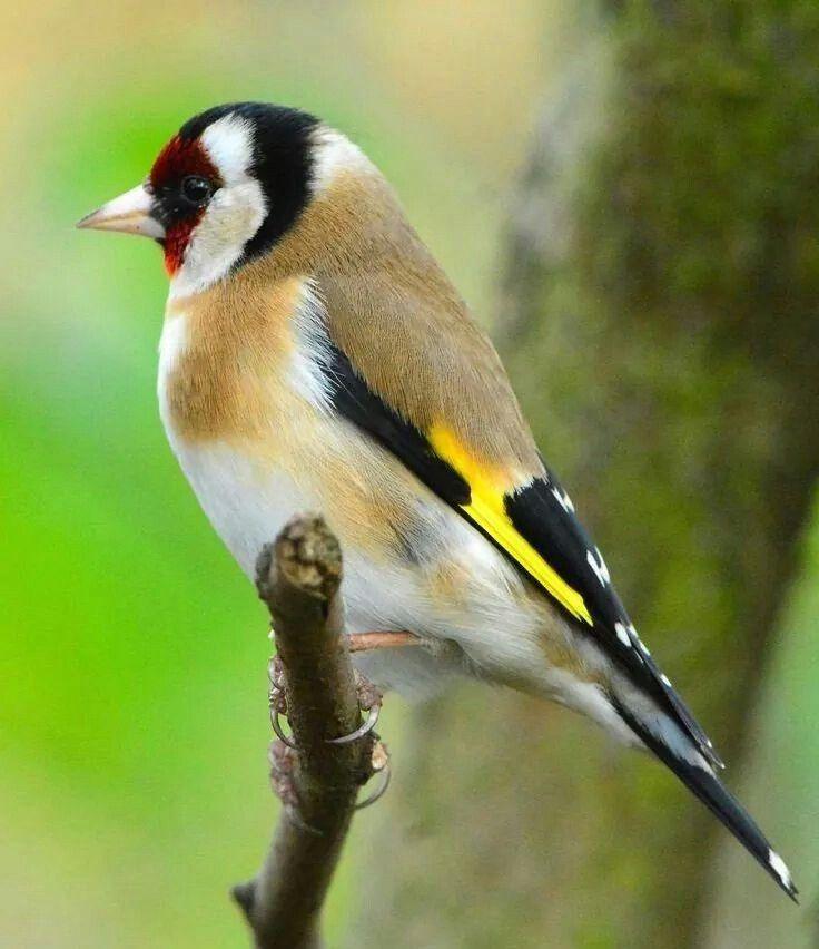 Pintassilgo bird