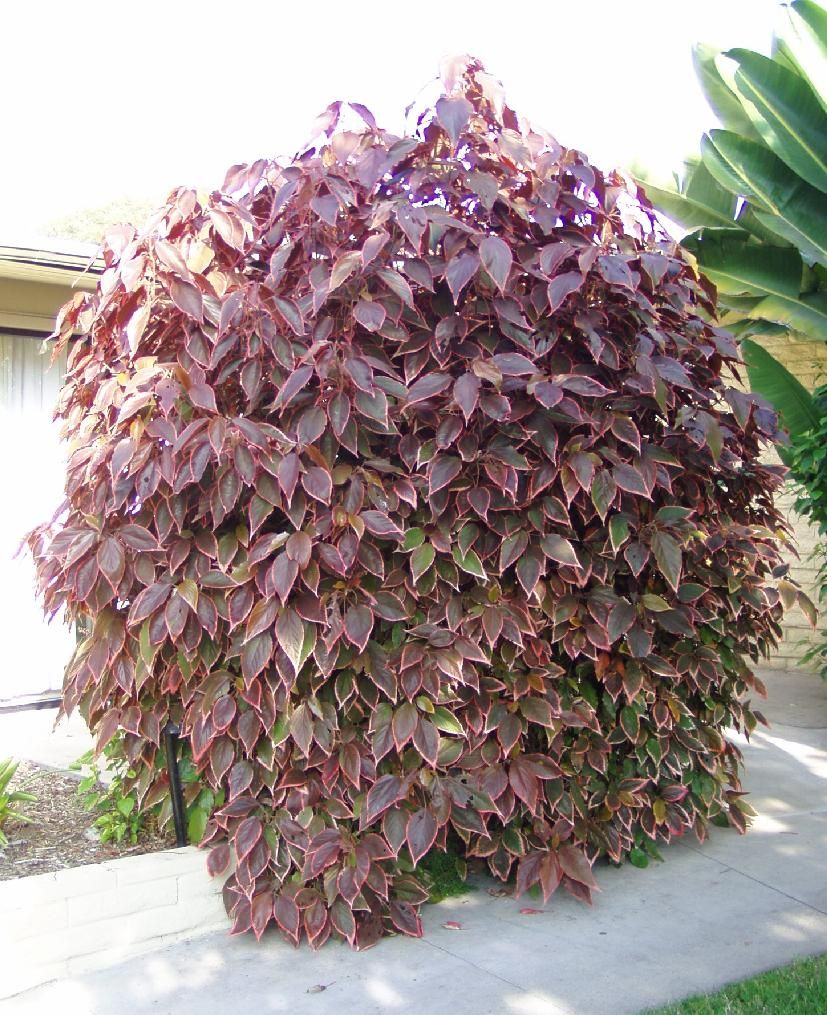 Acalypha Wilkesiana Copper Leaf Large Shrub With Bronze Purple Plants Hedges How To Dry Basil