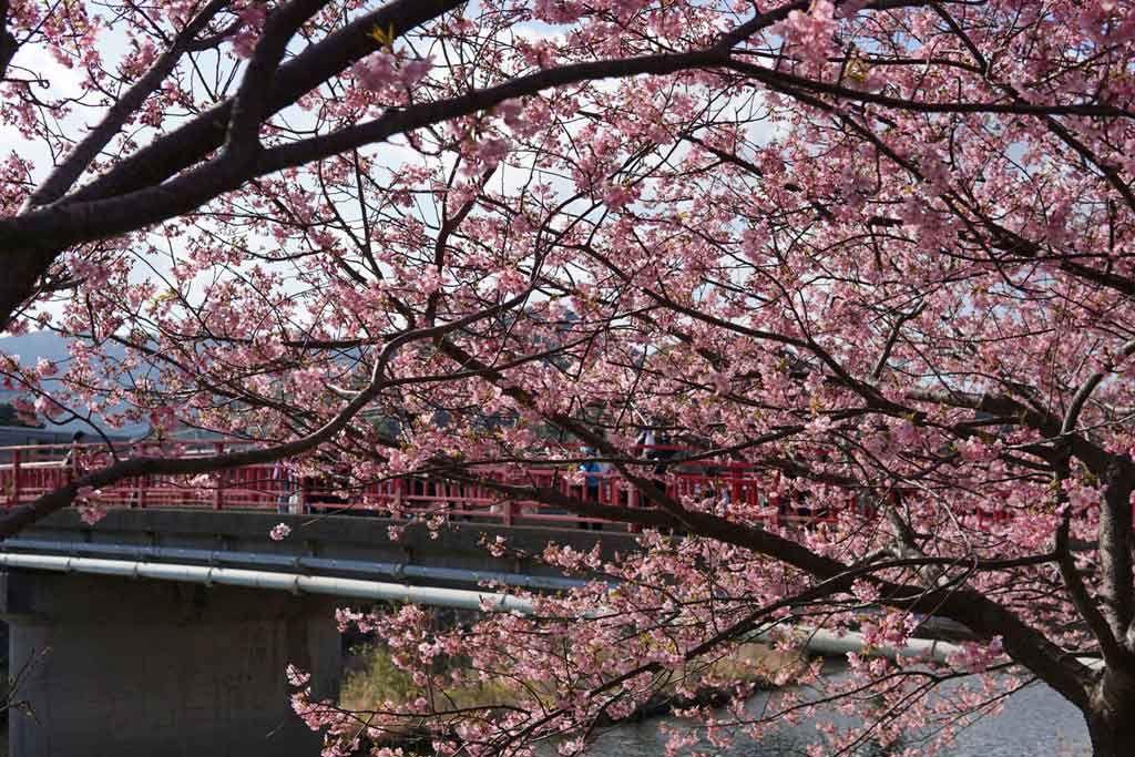 Sakura In Spring A Trip To Kawazu Japan Travel To Japan From Canada Japan Travel Trip Japan