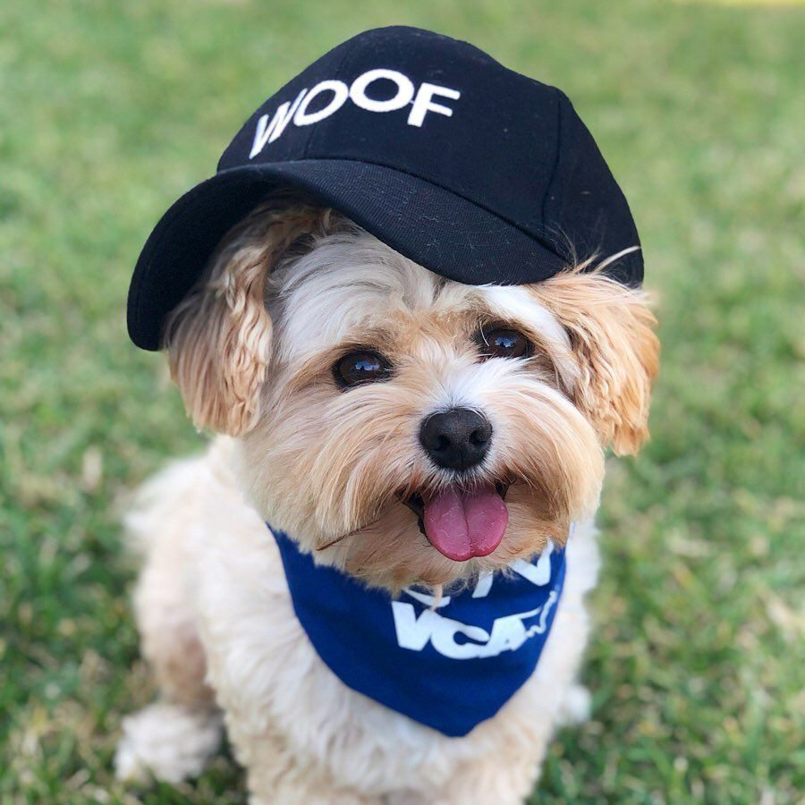 """Popeye the Foodie Dog on Instagram """"ad 🧢 a lil bit to"""