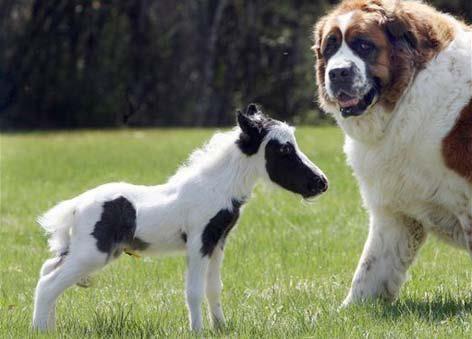 mini-horse, smaller than a dog