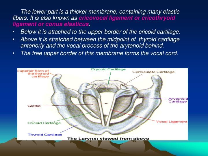 Larynx Anatomy Ppt Lecture Yahoo Image Search Results Download