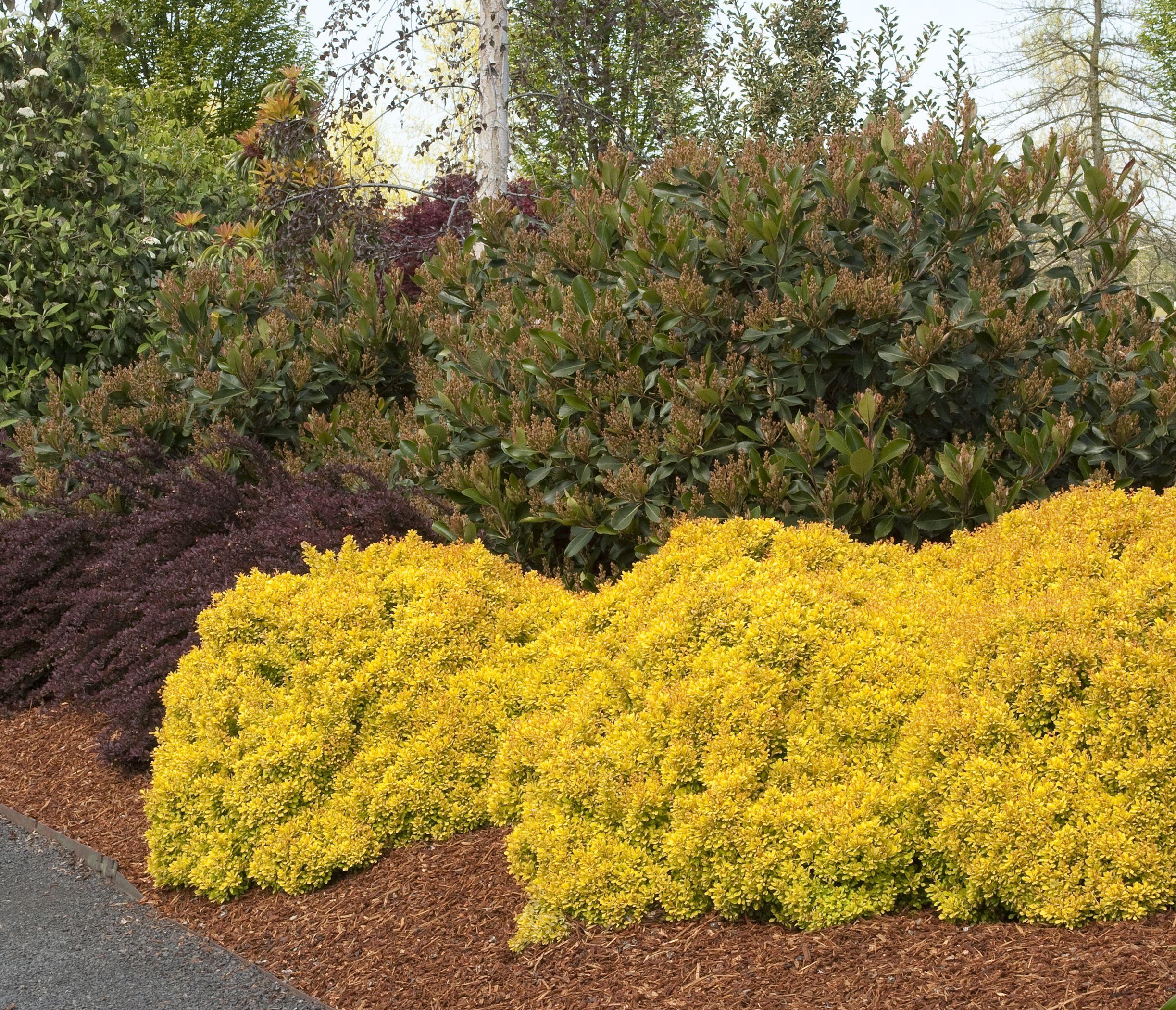 Zones 4 – 7) Add glowing golden foliage to the garden | Pinterest ...