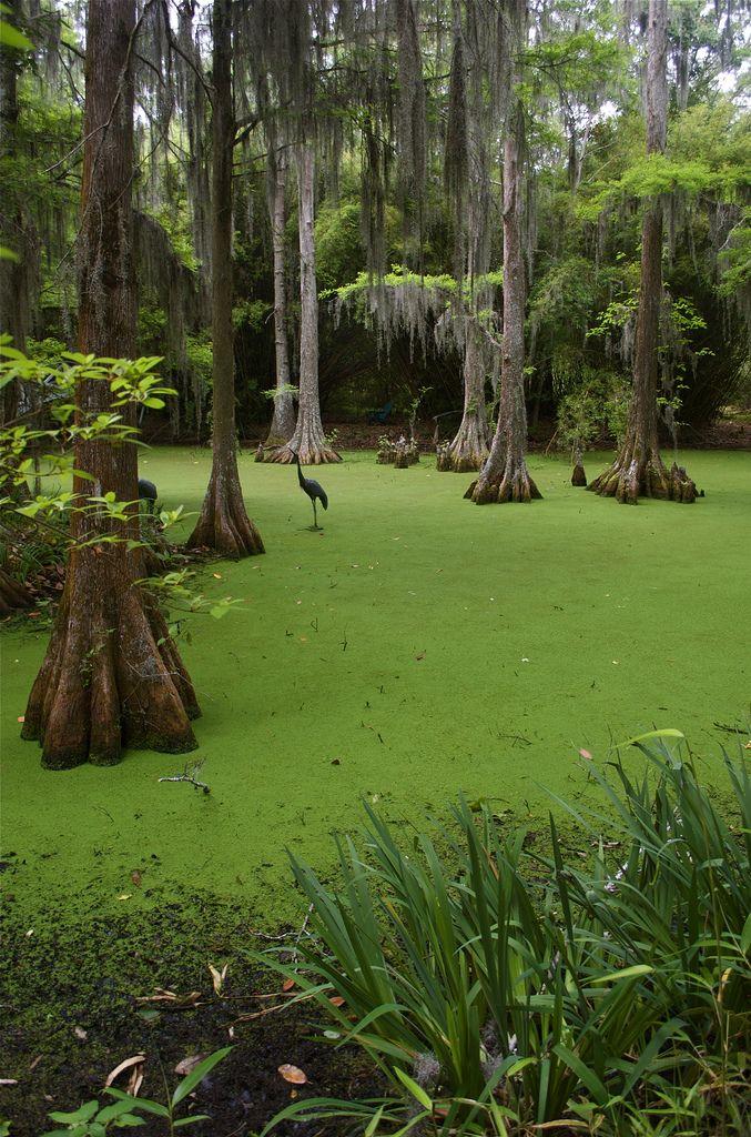 Swamp Scene in 2020 Louisiana swamp, Landscape