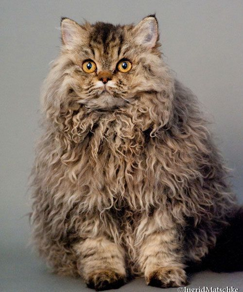The Most Expensive Cats In The World They Cost A Fortune Curly Cat Rex Cat Cat Breeds