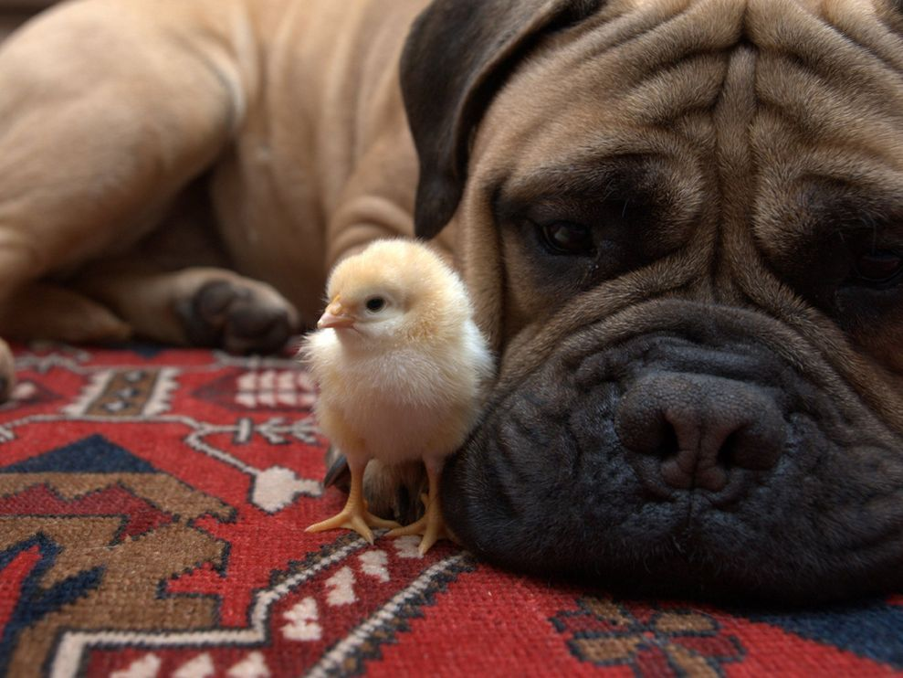 The Surreal Bond Between Dogs and Chicks Bull mastiff