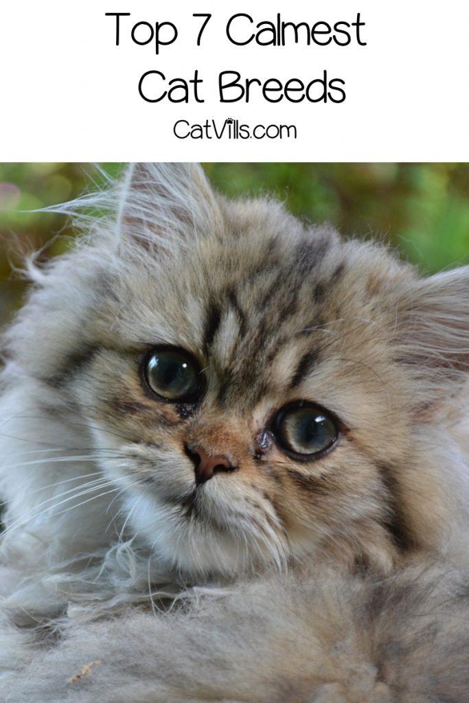Top 7 Calmest Cat Breeds CatVills in 2020 Calming cat