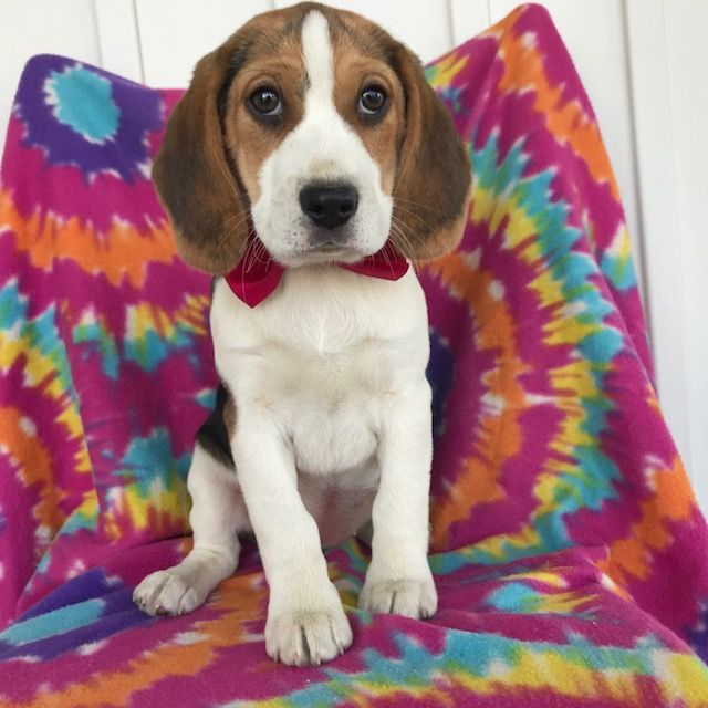 Beagle puppy for sale in EAST EARL, PA. ADN61236 on