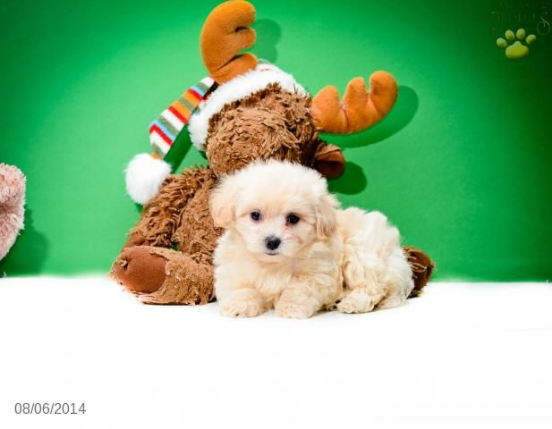 Matthew Maltipoo Puppy For Sale In Johnstown Oh Maltipoo Puppy Maltipoo Puppies For Sale Puppies For Sale