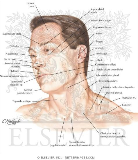 Head And Neck Surface Anatomy Drawing The Face And Head