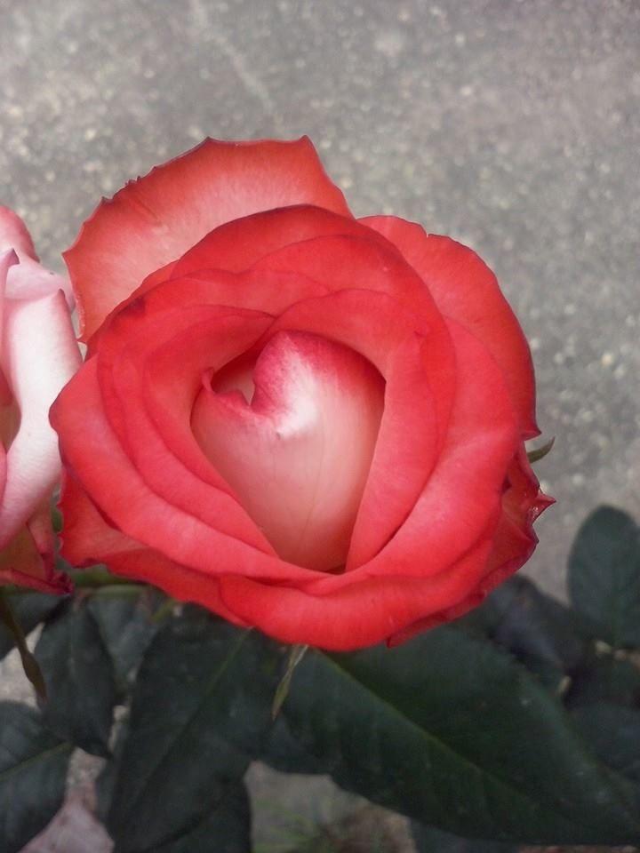 Rosa 16-03-15