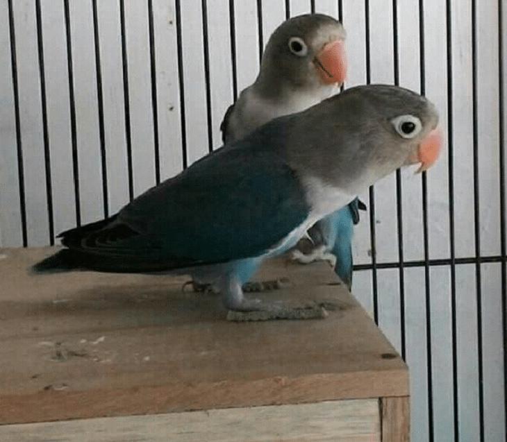 Mengetahui Metode Setingan Glodok Rahasia Stabilkan Birahi Lovebird Burung