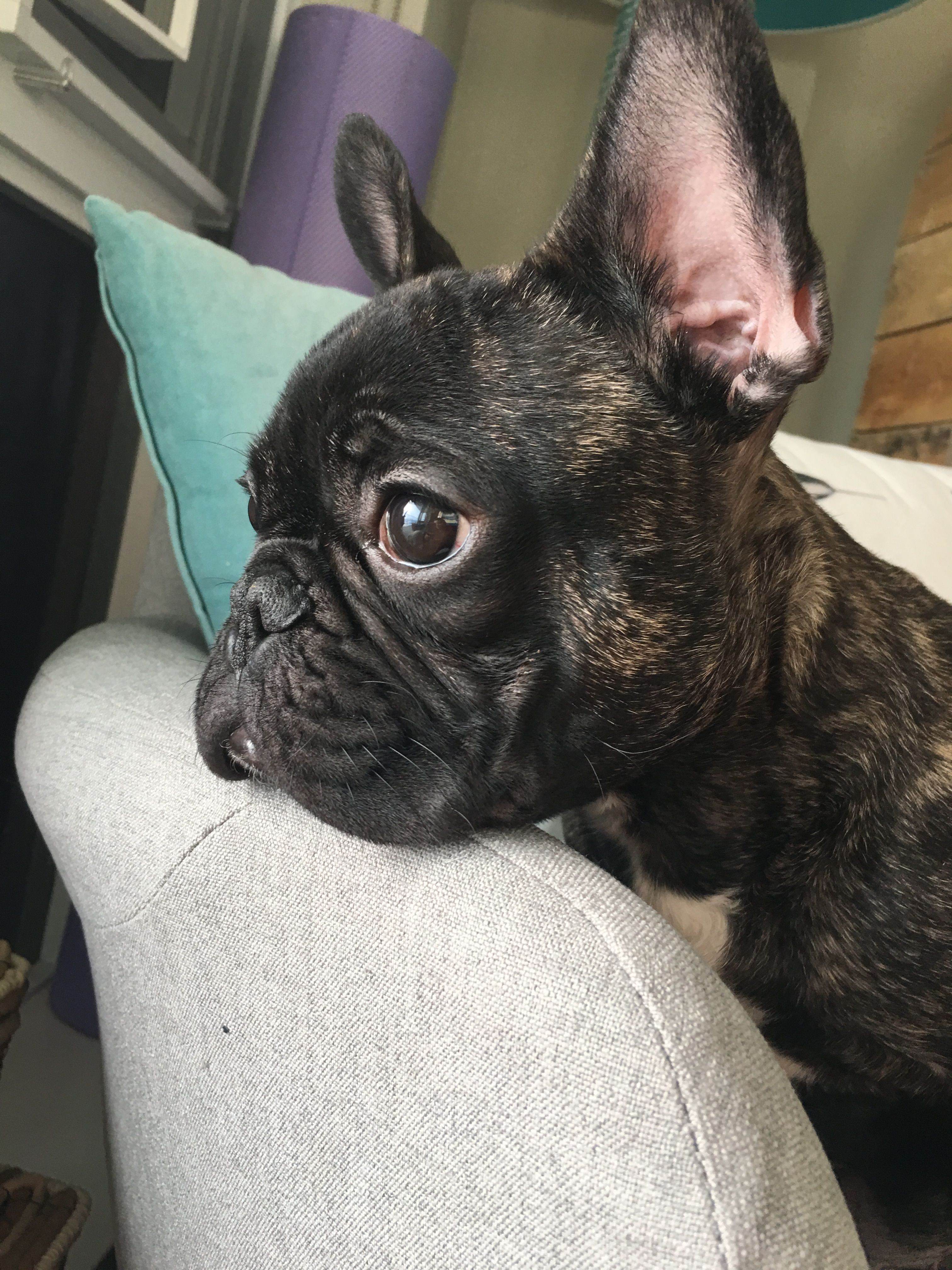 French Bulldog Playful And Smart Brindle French Bulldog Cute French Bulldog White French Bulldog Puppies