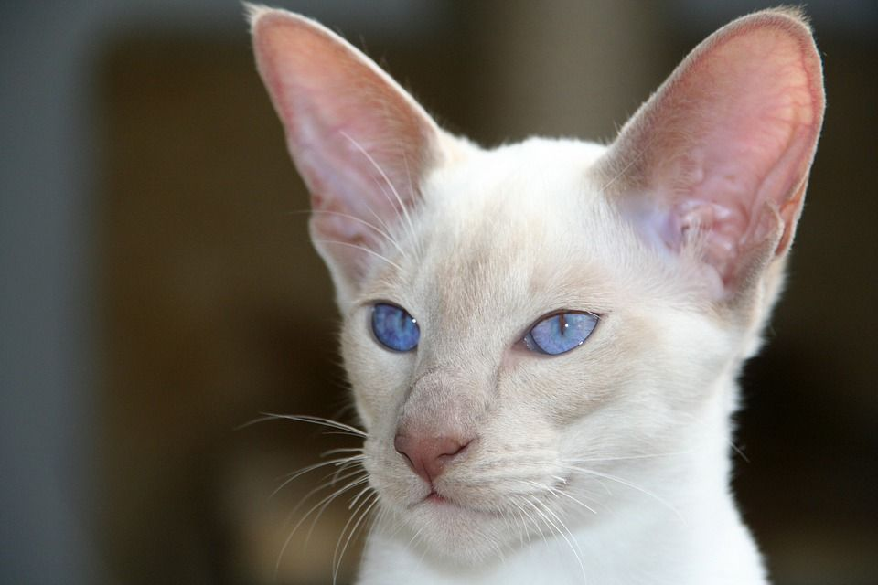 Healthy and Purebred Siamese Cats & Kittens for sale in