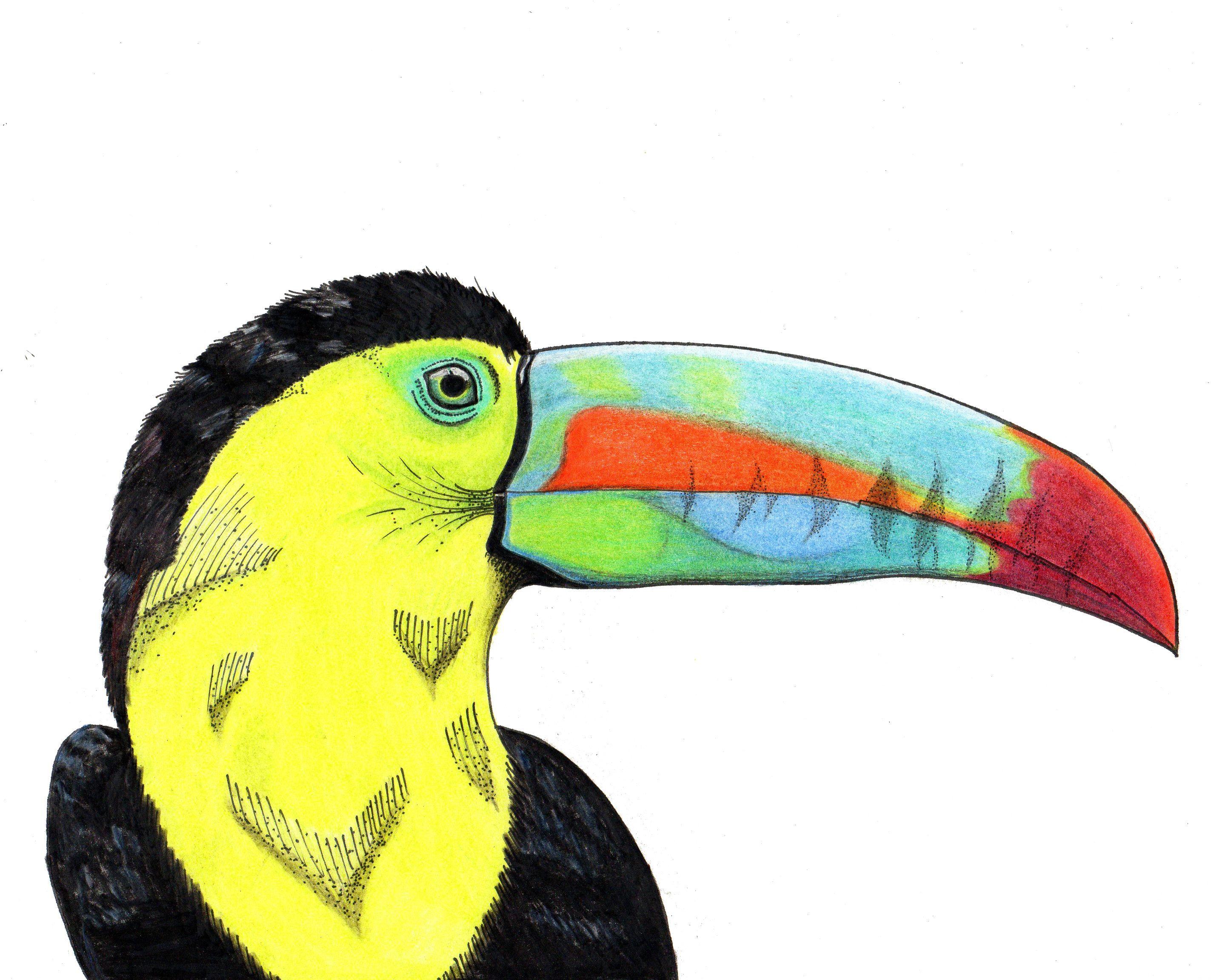 TUCAN- DIBUJO COLOR | Dibujos | Pinterest | Tucan, Dibujar y Color