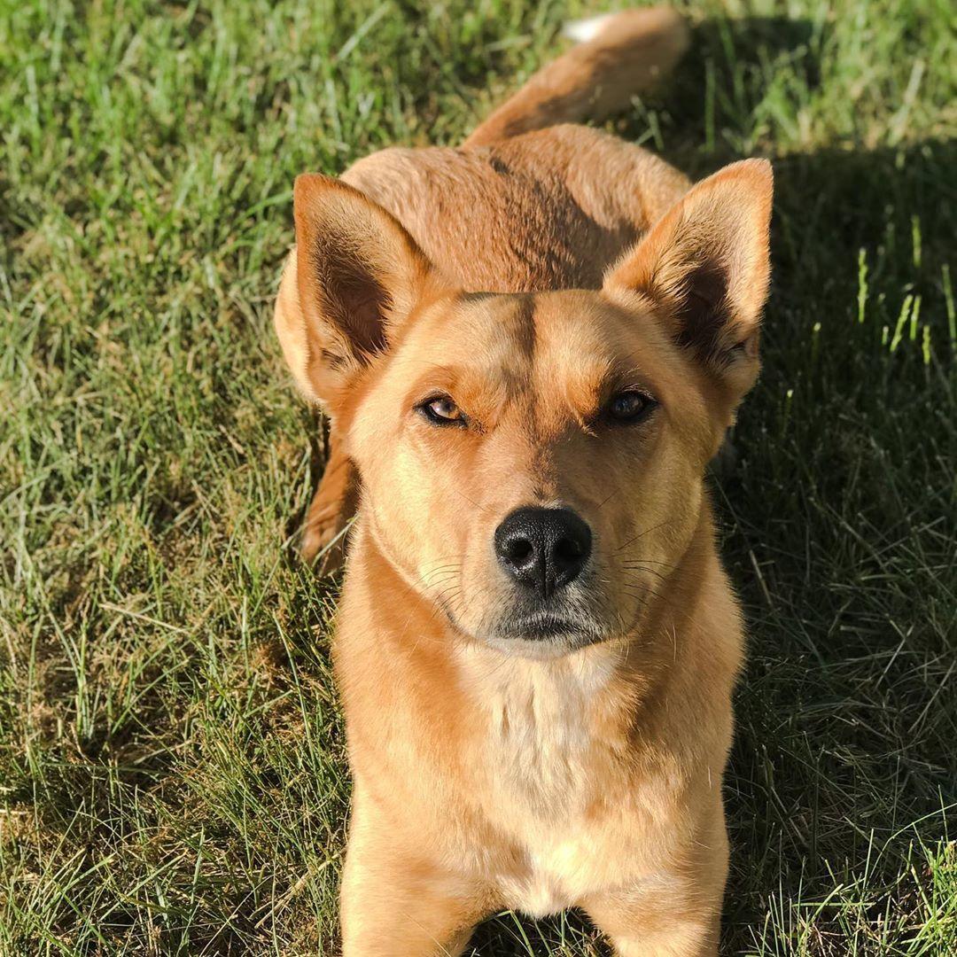 American Dingo / Carolina Dog (With images) Dingo dog