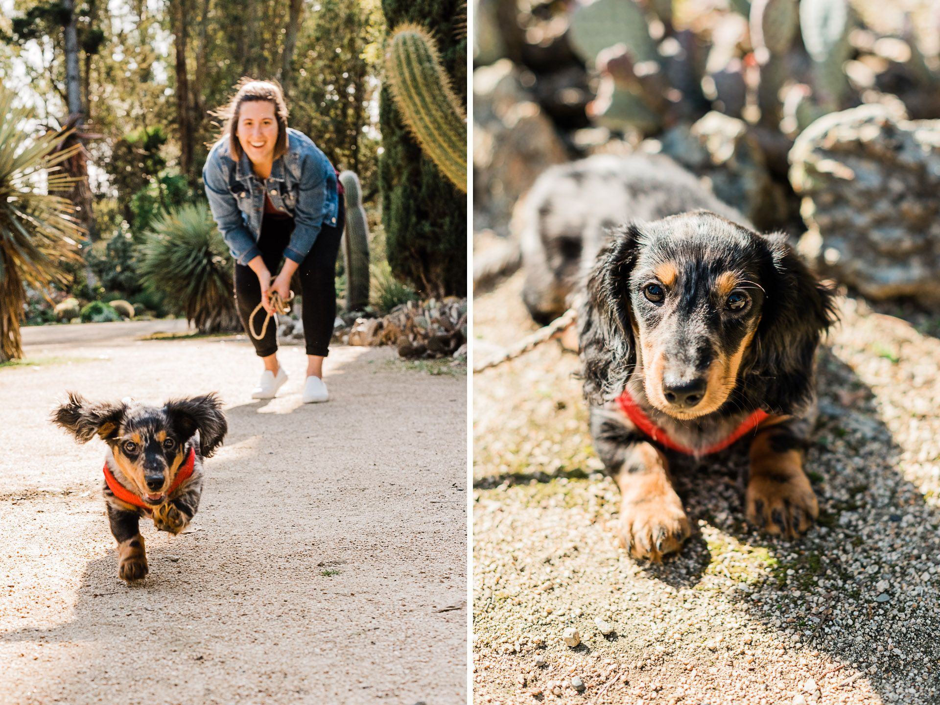 Long Haired Dachshund Puppy Running Bayareapetphotographer