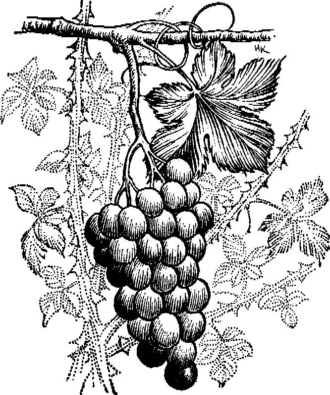 виноградная лоза картинка рисунок