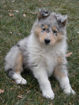 Blue Merle Rough Collie Pup At 6 Weeks Collie Puppies Rough Collie