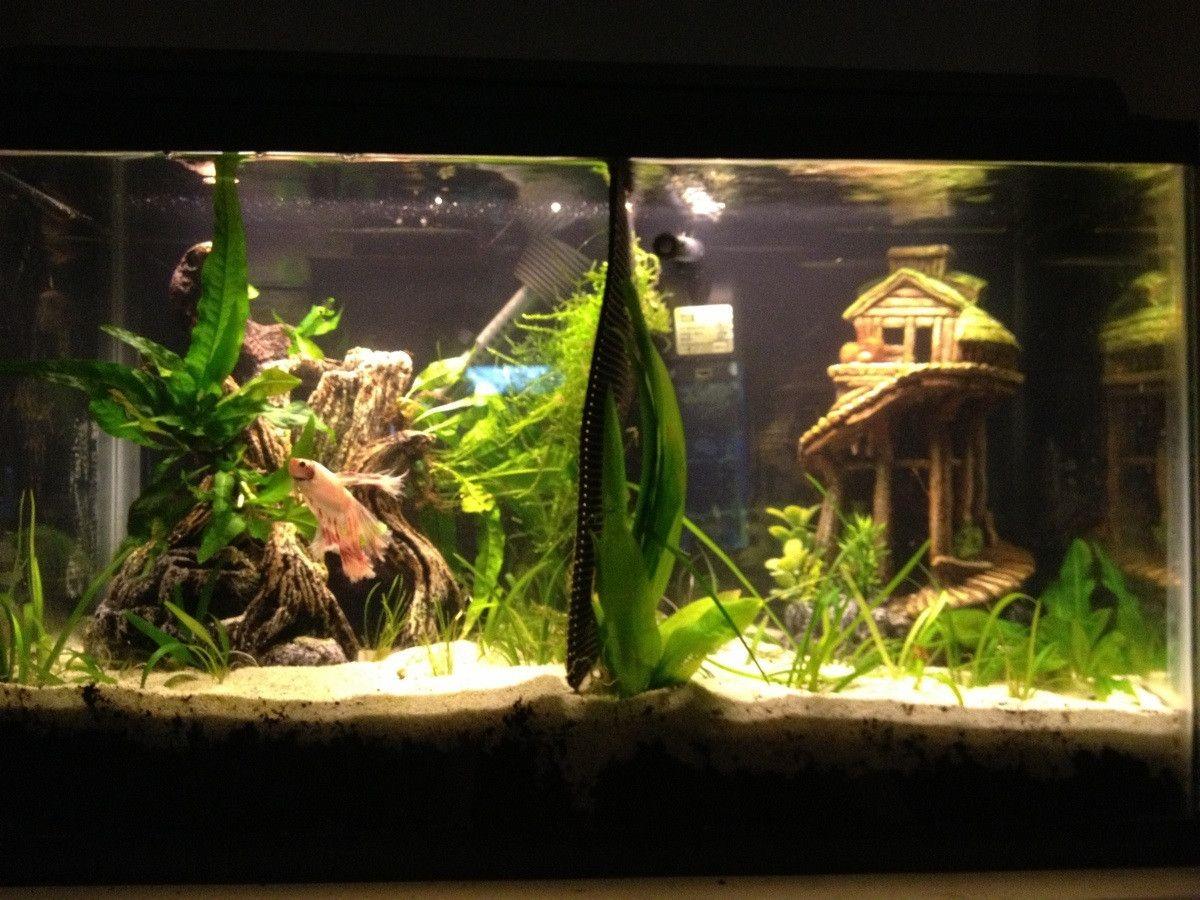 Planted divided betta tank bettas pinterest betta for Plant fish tank