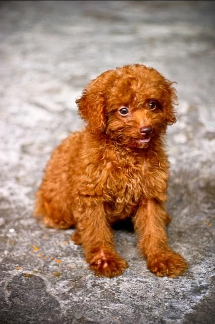 Cute Small Red Apricot Miniature Poodle Puppy Dog Picture Dogs