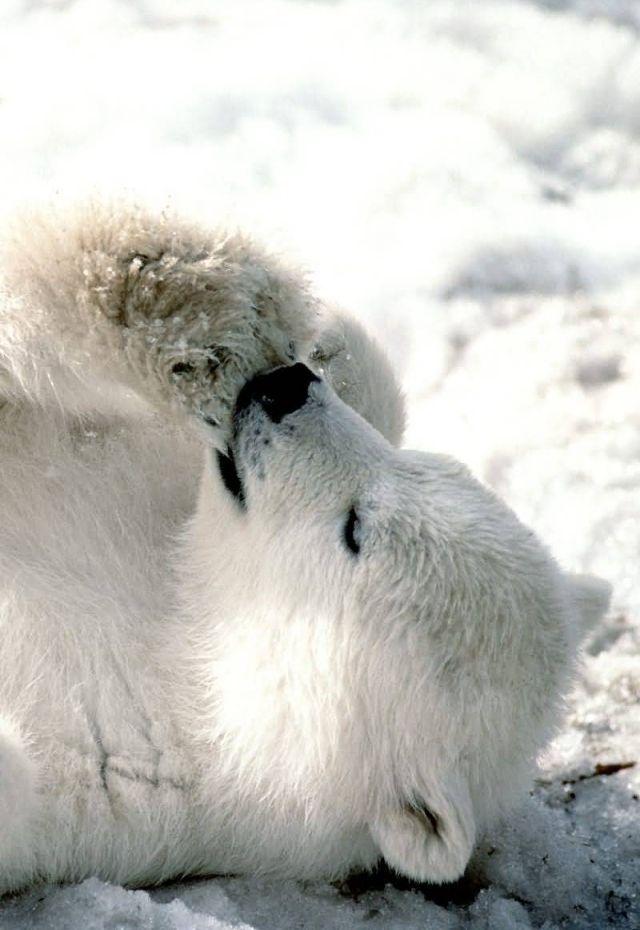 Iphone Wallpaper Animals Baby Polar Bear Puppies Pinterest