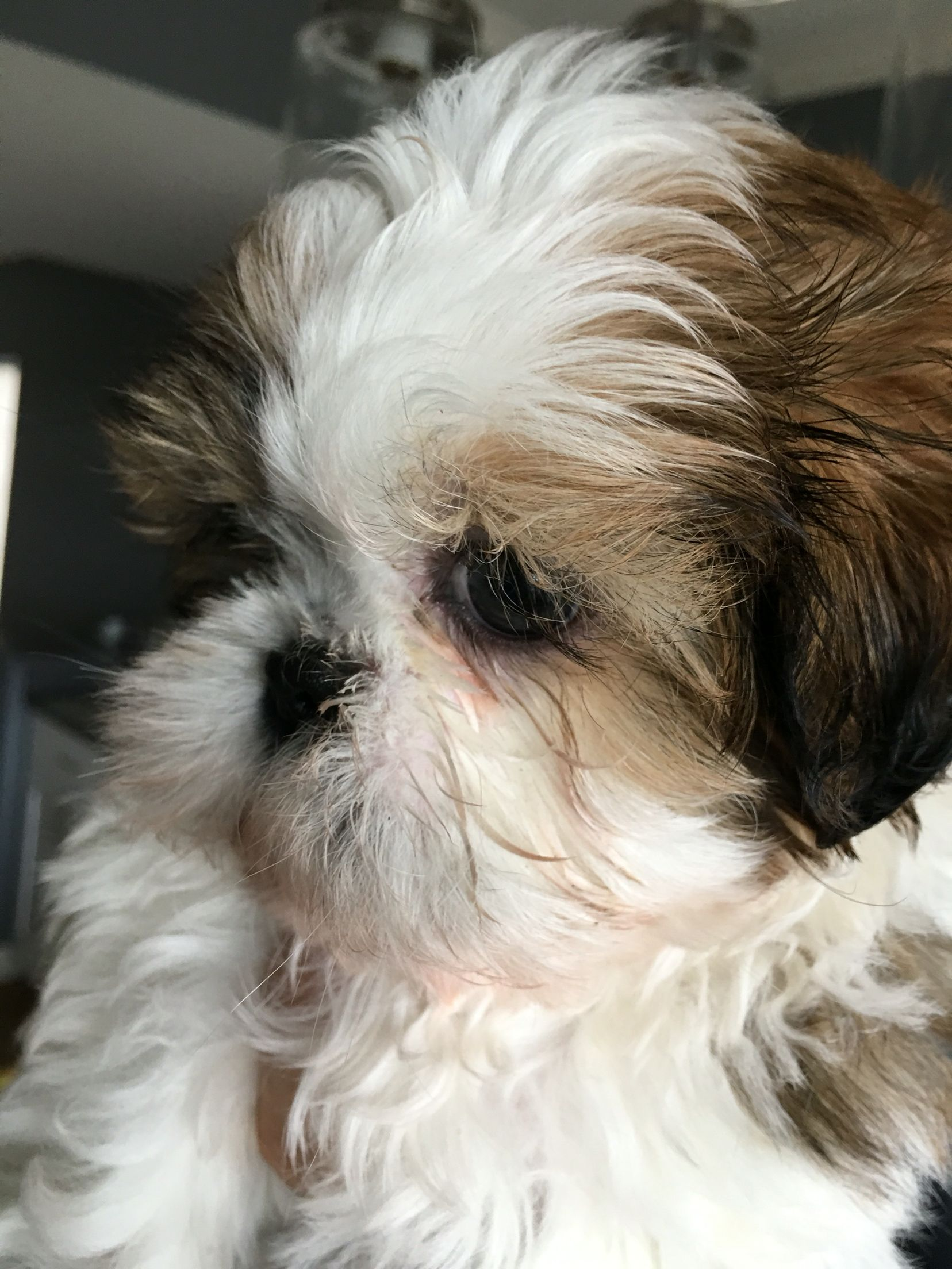 Cute Little Fluffy Soft Baby Shih Tzu Foxiepup Shih Tzu