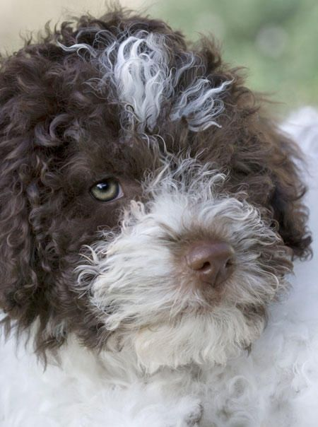 Italian English Animsld: Pepa The Lagotto Romagnolo