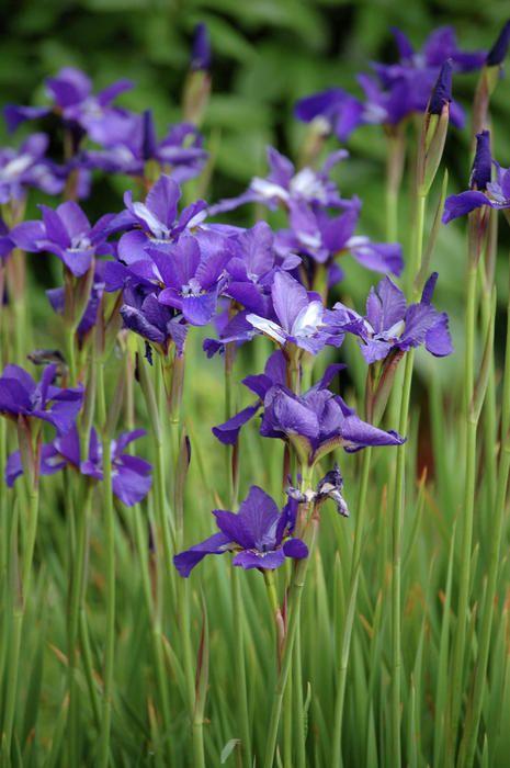 Purple Japanese Iris Print By Colleen Coppock Japanese Iris Purple Flowers Beautiful Flowers