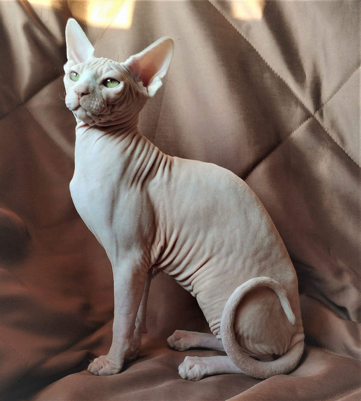 Sphynx Sfinks In 2020 Kitty Sphynx Pets