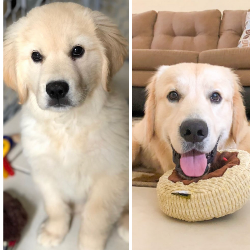 Our Trans Fur Mation Tuesday Goes To Riley The Goldenretriever Such A Cutie Want Your Puppy S Transformation To Be F In 2020 Golden Retriever Puppies Cutie