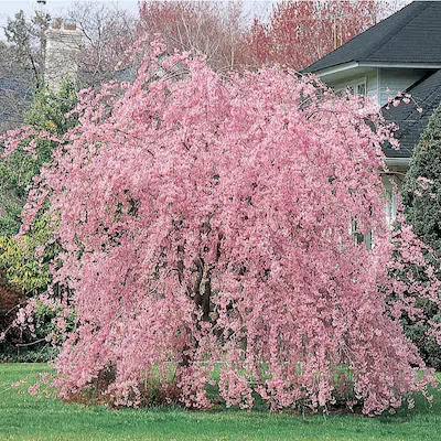 12 7 Gallon Pink Cherry Weeping Double Flowering Tree In Pot With Soil L10580 Lowes Com Flowering Trees Potted Trees Home Garden Plants