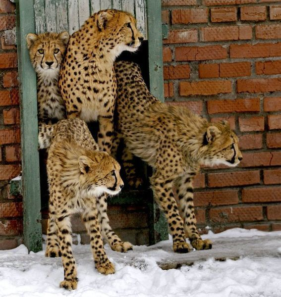 big kitties