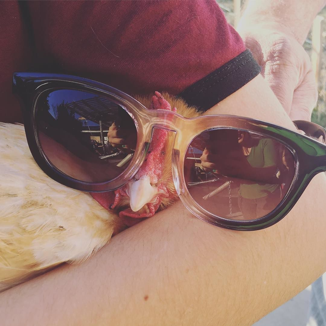 You may be #cool but you'll never be a #chicken wearing #sunglasses cool.