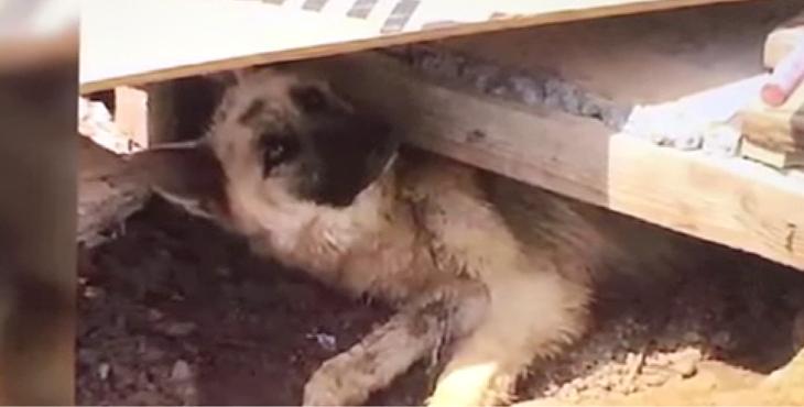 Cette chienne coincée sous les décombres ne veut pas sortir tant que ses chiots ne sont pas sauvés