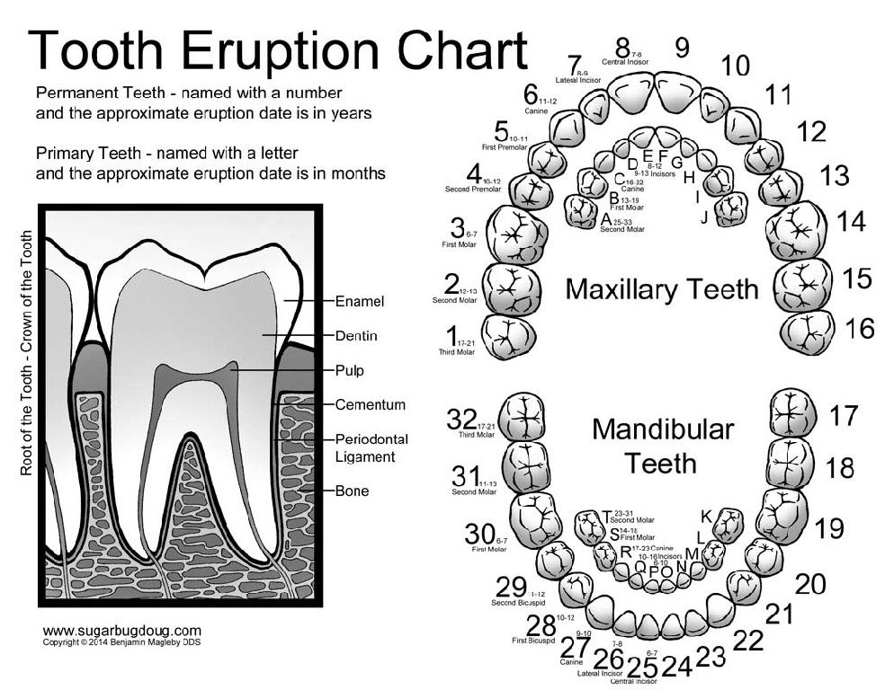 Tooth numbering chart for kids created by the amazing pediatric dentist dr ben magleby also rh pinterest