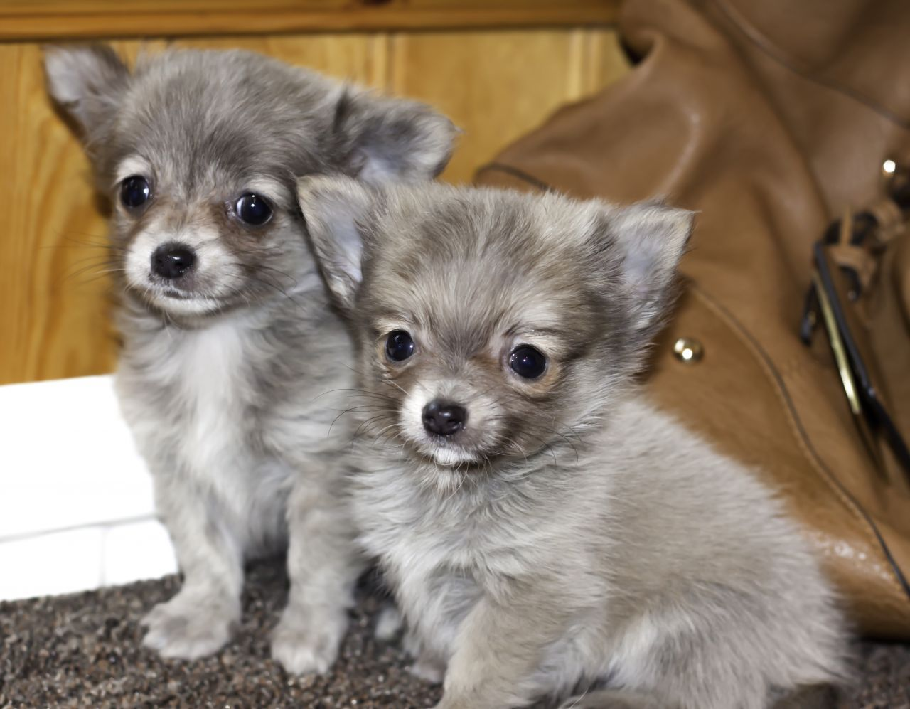Silver Chihuahua Long Coat Chihuahua Dogs Cute Chihuahua Chihuahua Breeds