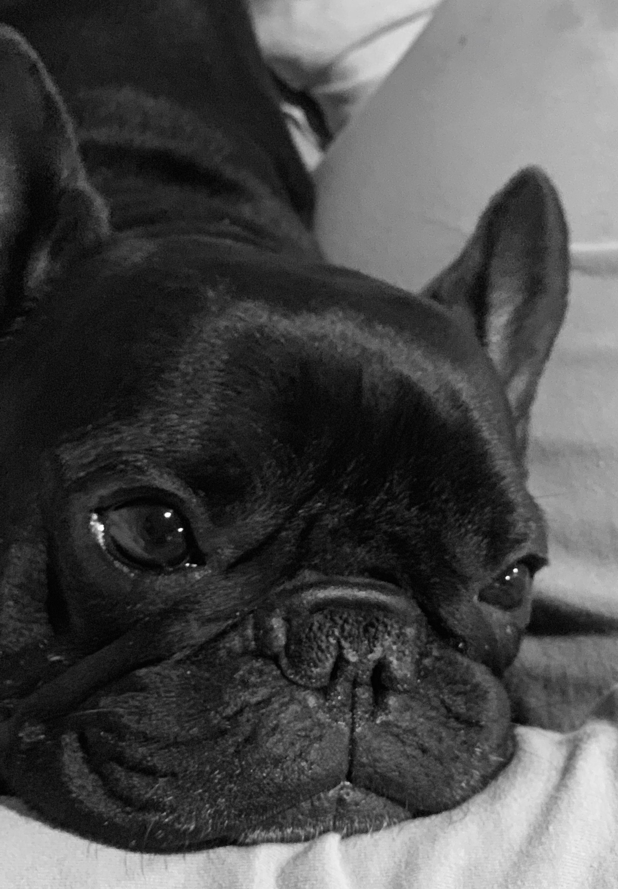 Pin By Rochelle Parker On Poo French Bulldog Puppies French