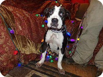 Yakima, WA - American Staffordshire Terrier  Meet Addy a Dog