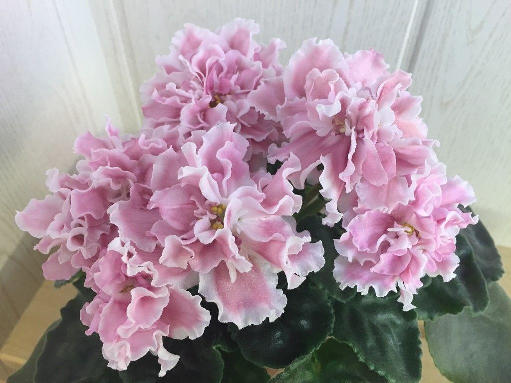Миндаль(сеянец Морева) | Сенполия, Комнатные цветы и Цветы