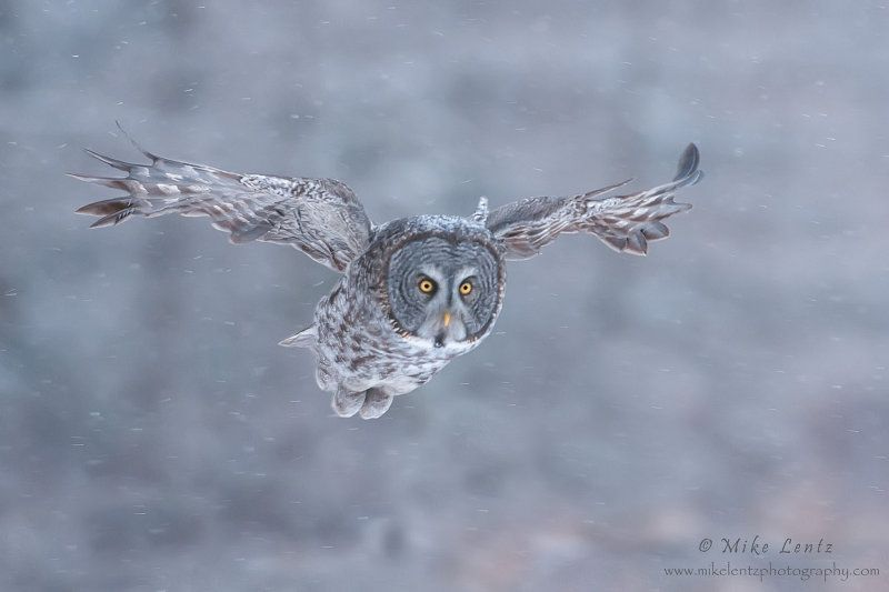 GGOW in snowy flight | by Mike Lentz Photography