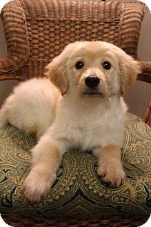 Bedminster Nj Golden Retriever Great Pyrenees Mix Meet Kobi A