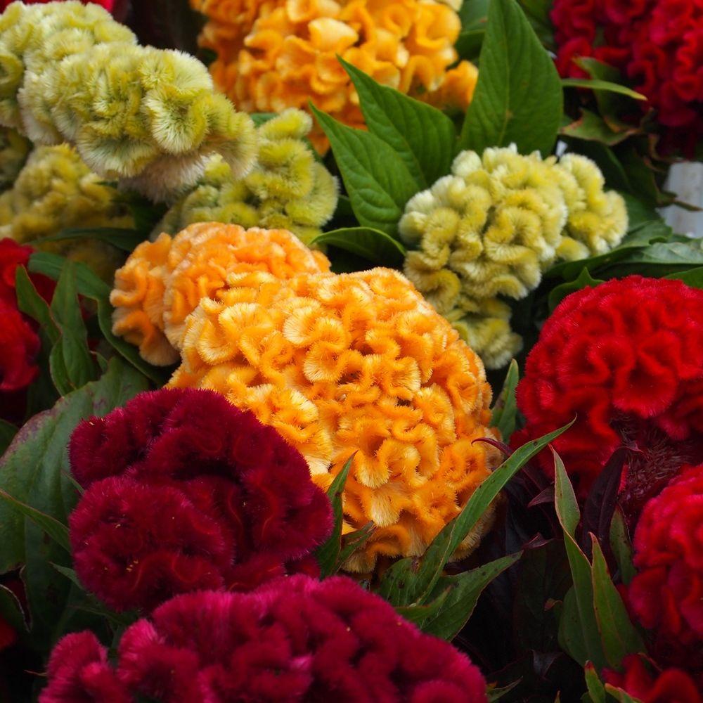 Celozja Grzebieniasta Niska 600 Nasion W Sklep Nasiona Sprawdz Darmowa Wysylke Celosia Flower Flower Seeds Beautiful Flowers
