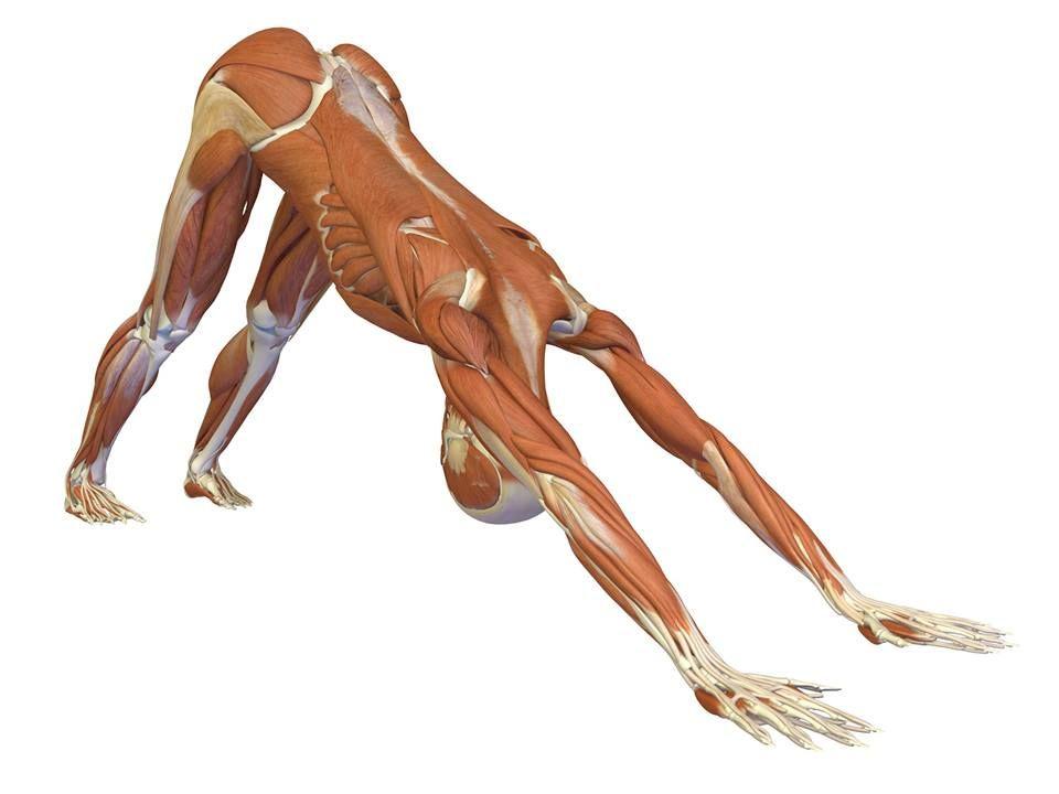 Atractivo Anatomía Y Fisiología Humana Marieb 8ª Edición Citación ...