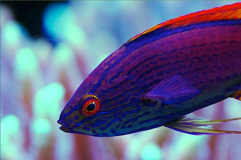 Lineatus Fairy Wrasse Ocean Creatures Marine Fish Saltwater Tank