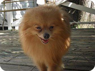 Delaware Oh Pomeranian Meet Copper A Dog For Adoption Http Www Adoptapet Com Pet 14711372 Delaware Ohio Pomeranian Dog Adoption Pets Kitten Adoption