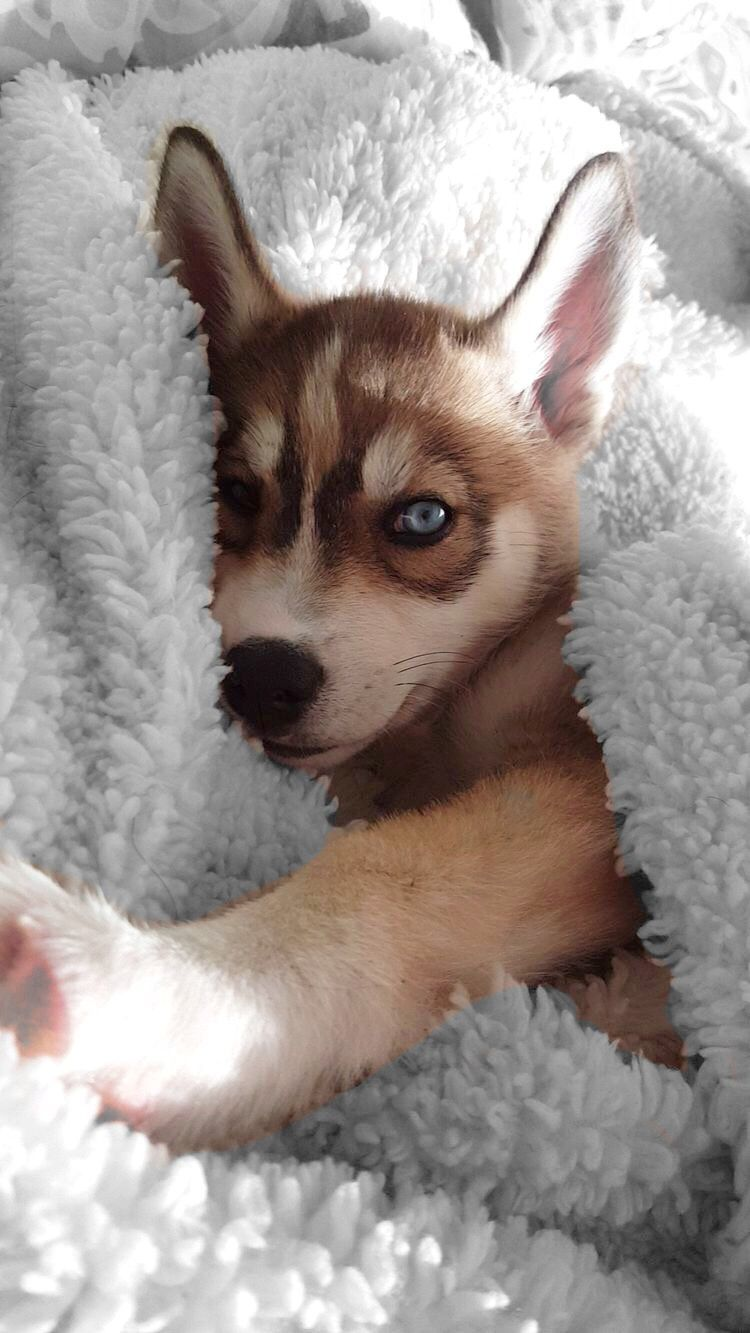 Super Aesthetic And Adorable Red Husky Puppy Husky Puppy